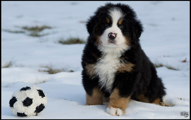 Bernese Mountain Dog Puppies Cost