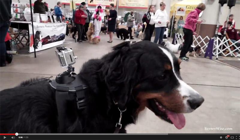 A Dog's Day Out: Teddy Go(es)Pro (Video)