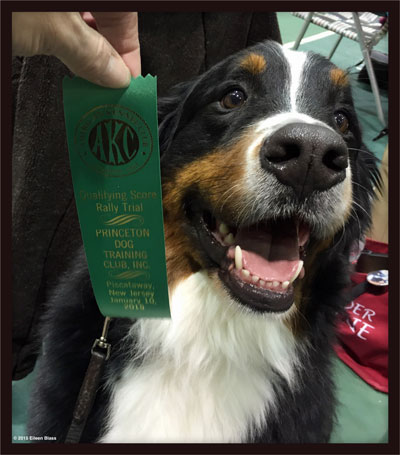 Teddy, the Bernese Mountain Dog, qualifies