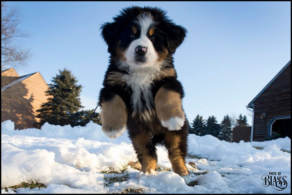 Merlin, the Bernese Mountain Dog