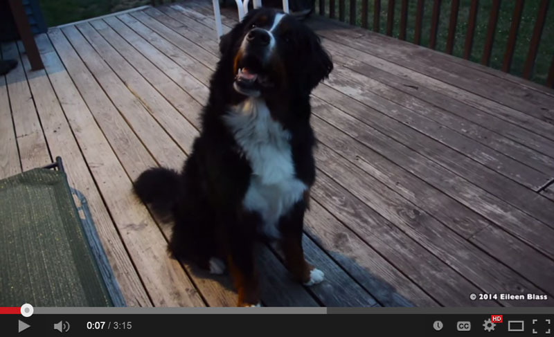 Teddy, the Bernese Mountain Dog video