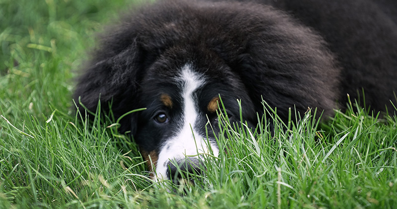 How to trim a Bernese Mountain Dog puppy's fuzzy head [Video]
